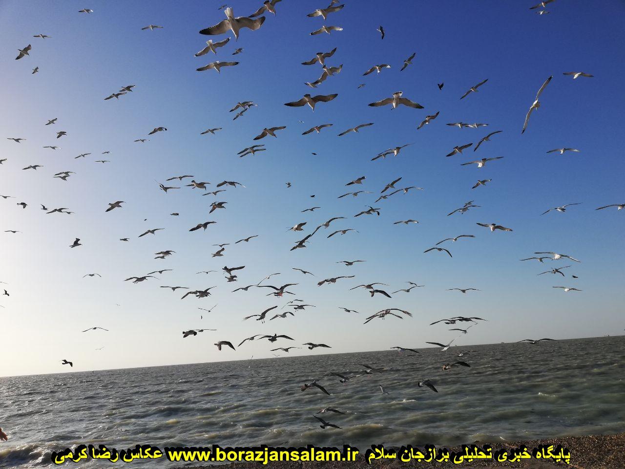 تصاویری زیبای مرغ های دریایی بوشهر