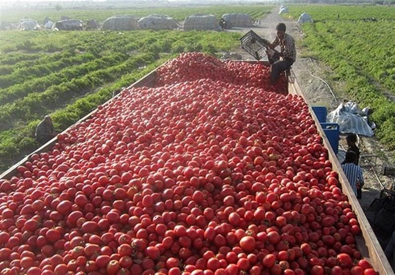 خرید توافقی گوجه فرنگی از کشاورزان استان بوشهر آغاز شد
