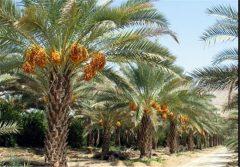 دلالان خرما برای سود بیشتر کام نخلداران بوشهری را تلخ کردند