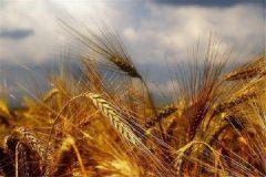 کمبود بذر گندم در بخش ارم و فرصتی که دارد از دست کشاورزان میرود
