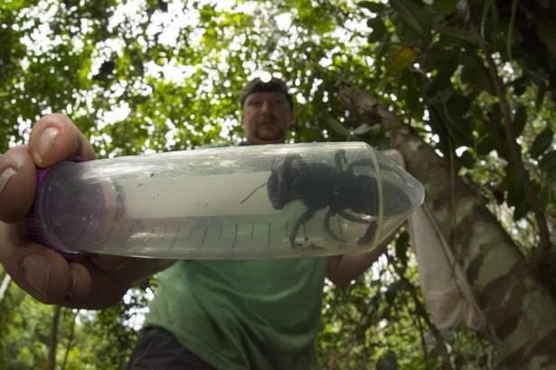 بزرگترین زنبور جهان پیدا شد
