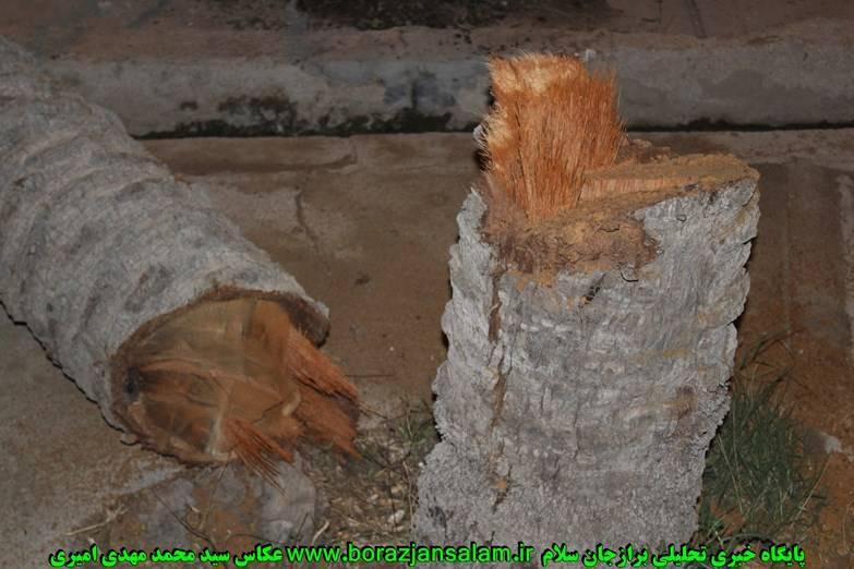 تصاویر قطع درخت در شاهزاده ابراهیم برازجان ( روستای نیزک)